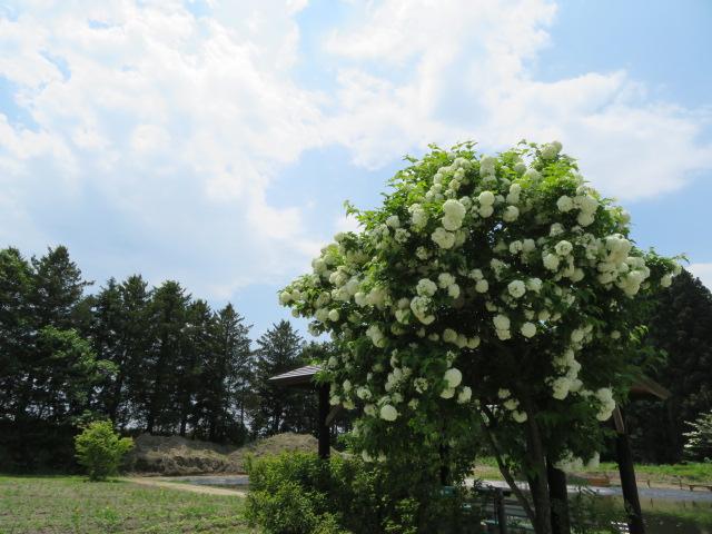 オオデマリの木